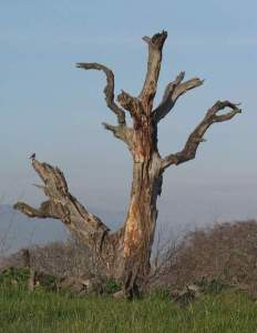 deadtree